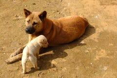 Lokale Vietnamese honden in het hoogland van Moc Chau, Vietnam Stock Fotografie