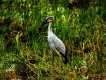 Lokale vogels, Anastomus oscitans of Openbill-ooievaarsvogel die in organisch padieveld leven en shell voedsel in platteland zoek royalty-vrije stock fotografie