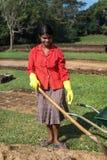 Lokale vrouw die in Sigiriya-complexe tuin tuinieren Stock Afbeeldingen