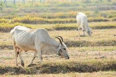 Lokale Zucht des Viehs, das auf den Gebieten weiden lässt Lizenzfreie Stockbilder
