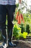 Lokaler Landwirt, der ein Bündel Karotten hält lizenzfreies stockbild