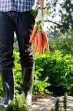 Lokaler Landwirt, der ein Bündel Karotten hält stockbild