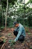 lokaler Landwirt, der seine Erdbeeren vor seiner Robustakaffeeplantage überprüft stockbild