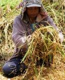 Lokaler Landwirt rüttelt Anlagen, um Reiskörner zu extrahieren Stockfotografie