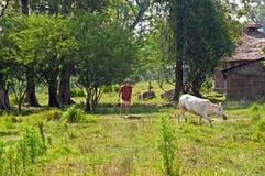 Lokaler Mann fährt die weiße Kuh durch Stock zur Scheune in Nationalpark Chitwan, Nepal Stockbilder