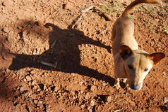 Lokaler Thailand- und Südostasien-Hund Stockfotos