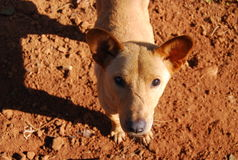Lokaler Thailand- und Südostasien-Hund Lizenzfreies Stockbild