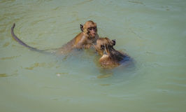 Lokales wildes Affeschwimmen und Spiel Hua Hin Beach Lizenzfreie Stockfotos
