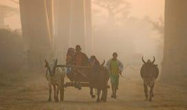 Lokalinvånare i gränden av baobabträd i ottan rider i vagnen Royaltyfria Bilder