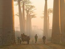 Lokalinvånare i gränden av baobabträd i ottan rider i vagnen Arkivbild
