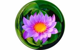 Lokalisieren Sie Bild auf der schönen purpurroten Seerose der Draufsicht oder purpurroter Lotosblume, die im Glaskugeleffekt blüh Lizenzfreies Stockfoto
