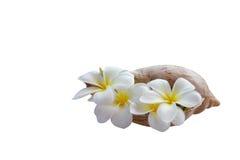 Lokalisieren Sie gelben weiße Blumen schönen Frangipani, der in s verziert wird Stockfotos