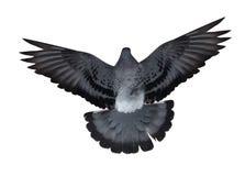 Lokalisiert auf weißem dunklem Fliegen tauchte Draufsicht Lizenzfreie Stockfotos
