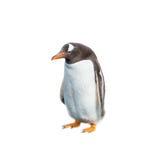 Lokalisiert am lustigen Pinguin des weißen Hintergrundes Stockfoto