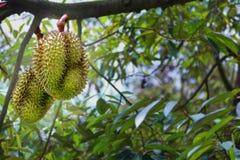 Lokalisiert von 2 Monthong-Durians auf Baum im landwirtschaftlichen Garten lizenzfreie stockfotografie