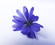 Lokalisierte blaue Blume Stockfoto