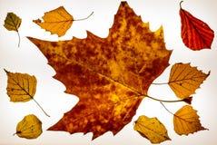 Lokalisierte bunte Herbst leafes auf einem lightbox - 12 Lizenzfreies Stockbild