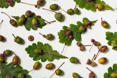 Lokalisierte Eichenblätter mit Eicheln Stockbilder
