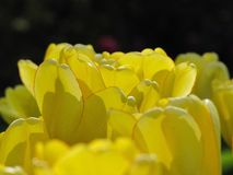 Lokalisierte gelbe Tulpe mit roter Kante lizenzfreie stockbilder