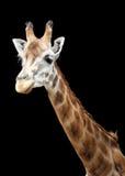Lokalisierte Giraffe Lizenzfreie Stockfotos