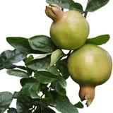 Lokalisierte Granatäpfel Stockfotos
