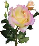 Lokalisierte hellrosa und Gelbe sondern Rosafarbenes aus Lizenzfreie Stockfotografie