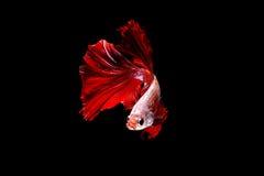 Lokalisierte kämpfende Fische der roten Flamme auf dem schwarzen Hintergrund lizenzfreies stockbild