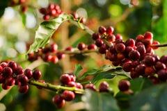 Lokalisierte Kaffeebohnen Stockbilder