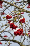 Lokalisierte Nahaufnahme der roten Eberesche auf den Niederlassungen umfasst mit Reif gegen den blauen Himmel an einem sonnigen T Stockfoto