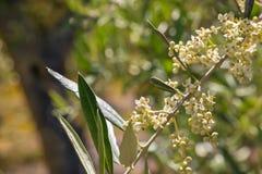 Lokalisierte Olivenbaumblumen in der Blüte Lizenzfreies Stockbild