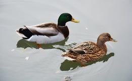 Lokalisierte Paare der süßen Enten, die auf dem Teich, natürliches Bild schwimmen Stockfotografie