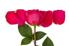 Lokalisierte rosafarbene und helle rosa Blumenblätter Stockfotos