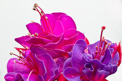Lokalisierte rote rosa Blume lizenzfreie stockfotografie
