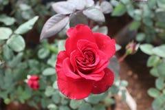 Lokalisierte Rotrosenblume im Garten Lizenzfreie Stockfotos