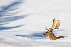 Lokalisierte Rotwild auf dem weißen Schneehintergrund Lizenzfreies Stockfoto