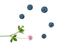 Lokalisierte saftige Blaubeeren und Blume Lizenzfreie Stockbilder
