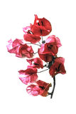 Lokalisierte Santa Rita Flower Color Edited Lizenzfreie Stockfotografie