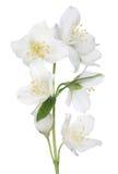 Lokalisierte schöne Blumen des Jasmins sieben Lizenzfreie Stockbilder