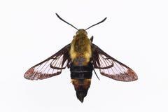 Lokalisierte Snowberry Clearwing-Motte Stockfoto
