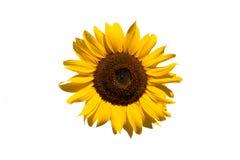 Lokalisierte Sonnenblume auf Weiß Lizenzfreies Stockbild