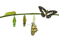 Lokalisierte Umwandlung des Kalk-Schmetterlinges auf Weiß stockfotografie