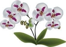 Lokalisierte weiße Orchideen mit rosa Stellen stock abbildung