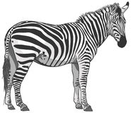 Lokalisierte Zebra-Illustration Lizenzfreie Stockfotos