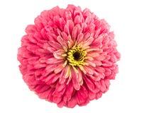 Lokalisierte Zinnia-Blume lizenzfreie stockbilder