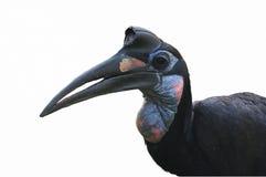 Lokalisierter abyssinischer Grundhornbill Lizenzfreie Stockfotografie