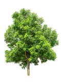 Lokalisierter Baum auf weißem Hintergrund Stockfotografie