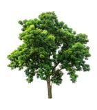 Lokalisierter Baum auf weißem Hintergrund Lizenzfreies Stockbild