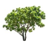 Lokalisierter Baum auf weißem Hintergrund Lizenzfreies Stockfoto