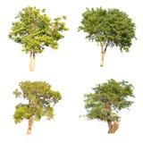 Lokalisierter Baum auf weißem Hintergrund Lizenzfreie Stockbilder