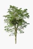 Lokalisierter Baum auf weißem Hintergrund Stockfotos